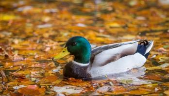 patka-u-liscu