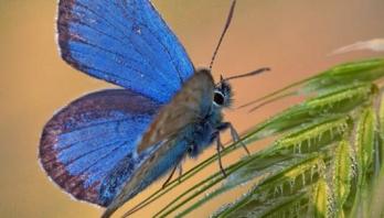plavi-leptir