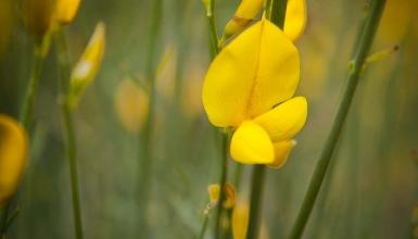 fotografije-cvijeca-brnistra-002