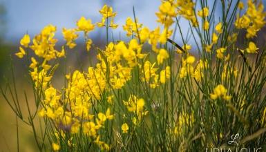 fotografije-cvijeca-brnistra-003