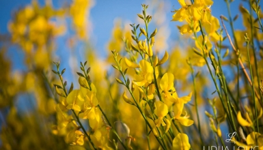 fotografije-cvijeca-brnistra-004