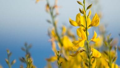 fotografije-cvijeca-brnistra-005
