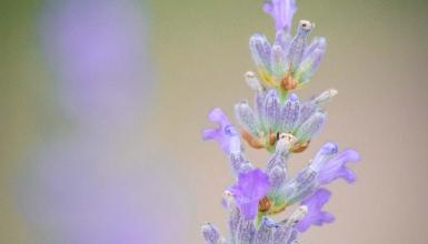 fotografije-cvijeca-lavanda-001
