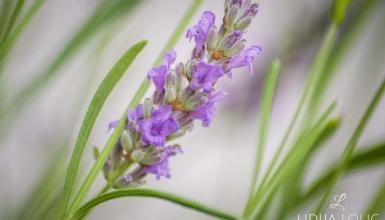 fotografije-cvijeca-lavanda-002