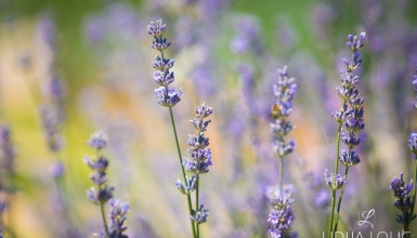 fotografije-cvijeca-lavanda-003