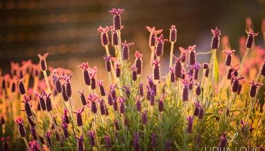 fotografije-cvijeca-lavanda-004