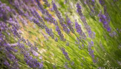 fotografije-cvijeca-lavanda-005