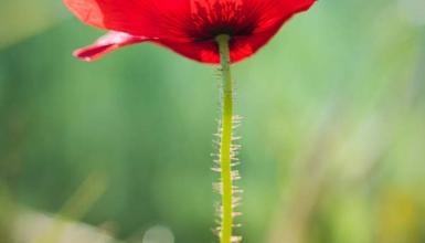 fotografije-cvijeca-mak-001