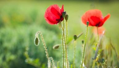 fotografije-cvijeca-mak-002