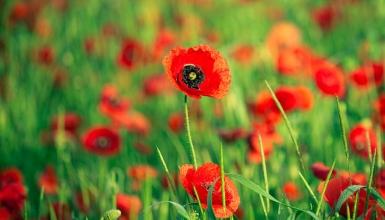 fotografije-cvijeca-mak-003