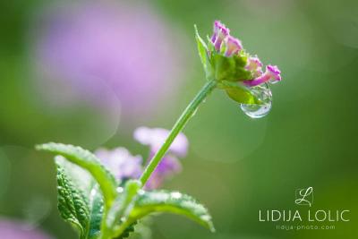 fotografije-cvijece-kapljice-macro-008