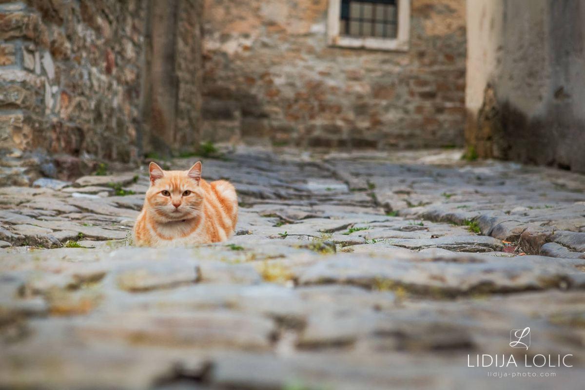 Cats of Groznjan